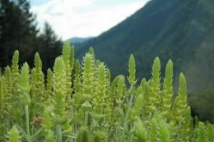 Mountain-Mursalski-tea-SIDERITIS-SCARDICA.jpg_350x350